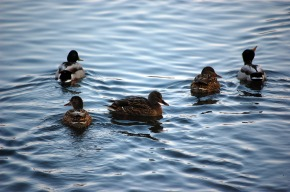 Myth buster: the truth behind theducks